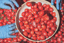 The Tomato Industry